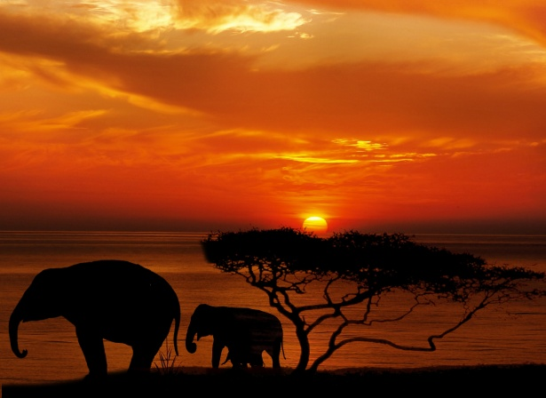 African elephants silhouette